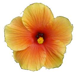 Hibsbicus flower
